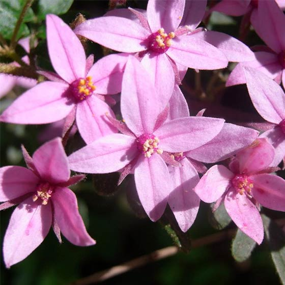 Boronia flower