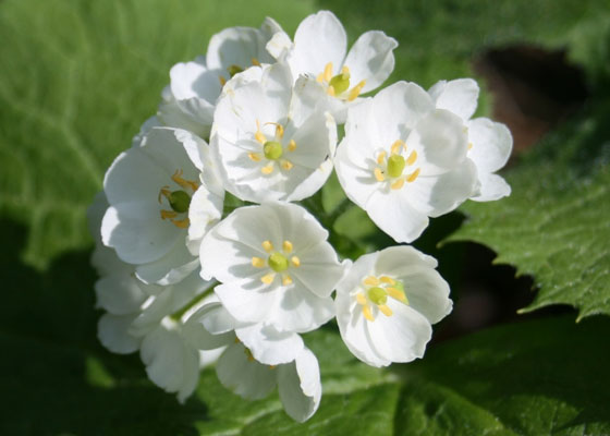 Diphylleia Grayi flower also known as the Skeleton Flower