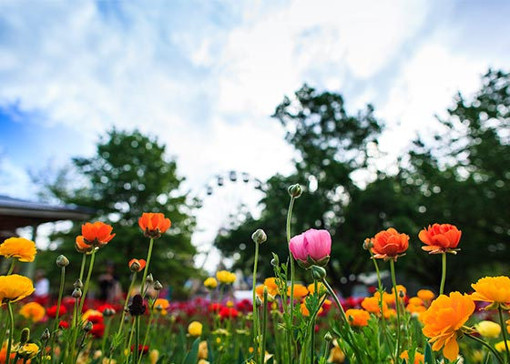 Colourful ranunculus flowers at Floriade 2015