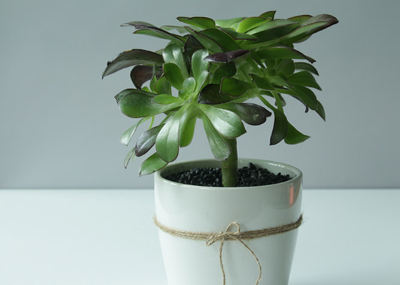 Plant and flower care - potted succulent kept away from sunlight