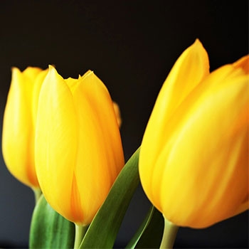 Tulip Growing: Force Tulips in Vases