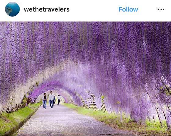 japan wisteria tunnel flowers