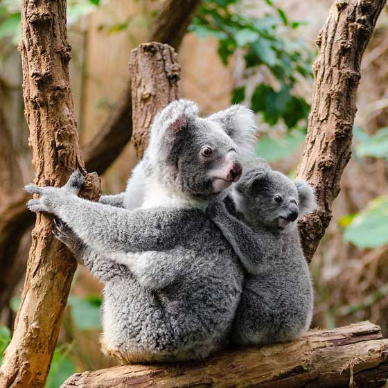 Koala mum and baby, animal mums