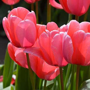 Meaning of Tulips