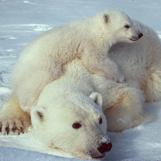 Polar bear mum and baby - animal kingdom mums