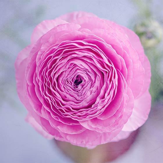 Spring flowers interflora soft pink ranunculus flowers mightylinksfo