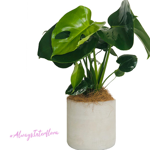 Interflora Australia Perfect Monstera Plant Gift