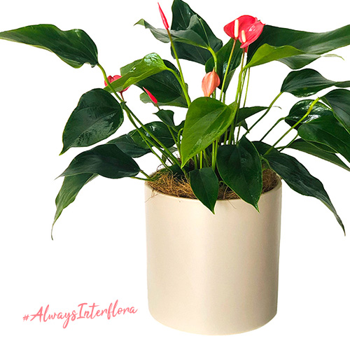 Interflora indoor potted plant