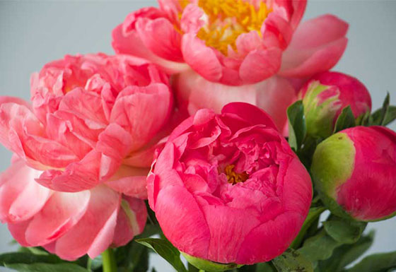 Choosing bigger flowers such as peonies can be an option for affordable wedding flowers