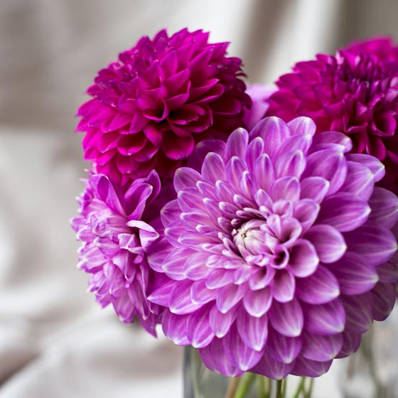 5 purple dahlias in a vase