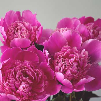 Our Top 4 Reasons to Love Peonies