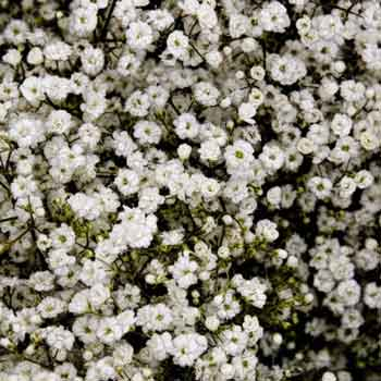 Baby's Breath: Now Trending