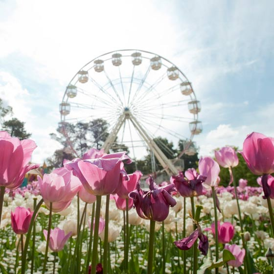 floriade canberra tulips and a ferris wheel