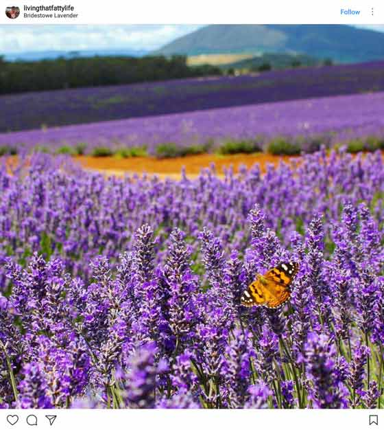 lavender field and butterfly