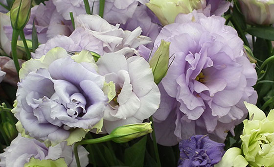 flowers  their meanings  lisianthus  interflora, Natural flower
