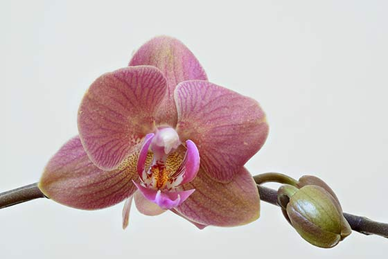 Flowers their meanings orchids interflora pink orchid flower mightylinksfo