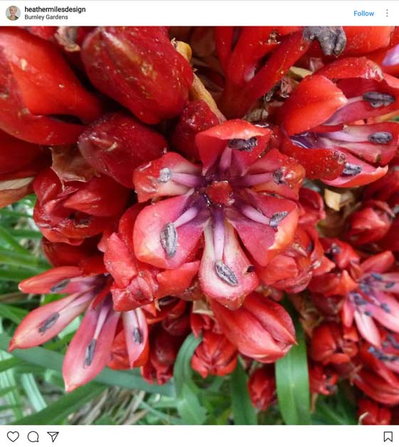 red gymea lily