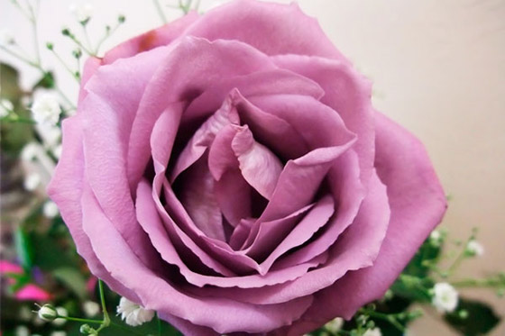 lavender rose meaning