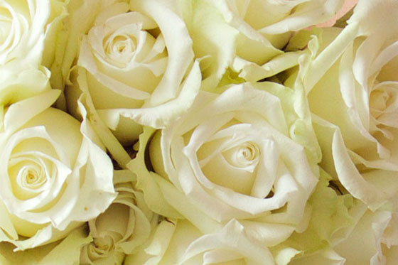white rose meaning