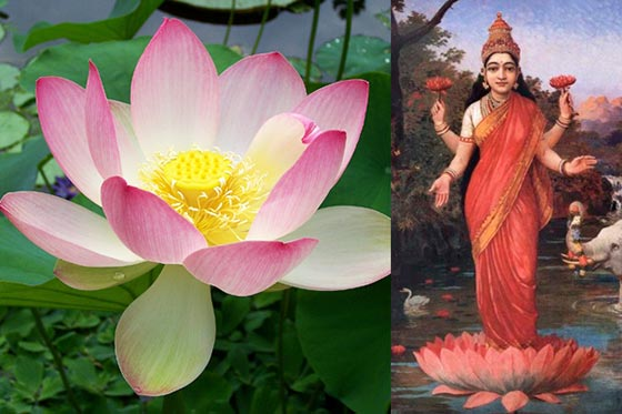 why lotus is national flower of india