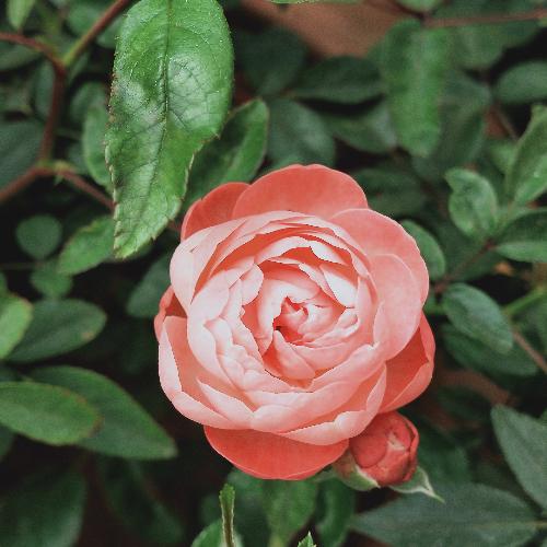 яркая персиковая роза