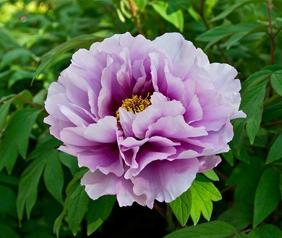 Growing peonies to perfection interflora purple peony mightylinksfo