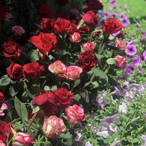посадили красные розы на грядке