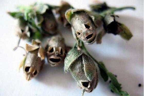 snapdragon  interflora, Natural flower